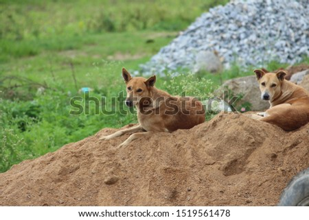 Couple of stray, street dogs rests on a pile of sand. Looks at me while I took pictures of them. Native breed but loyal creatures.