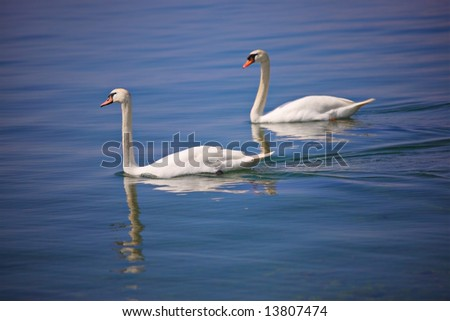 Couple of swans at Ohrid lake, Macedonia