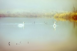 Couple of swans in a misty lake