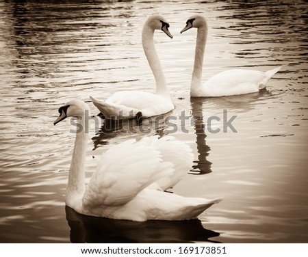 Couple of swans in love and the rejected lover. Selective focus on the couple. Sepia. Shadowed angles.