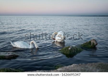Couple of swans on the lake. Stockfoto ©