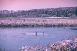 Couple of swans swimm in the frozen lake in winter