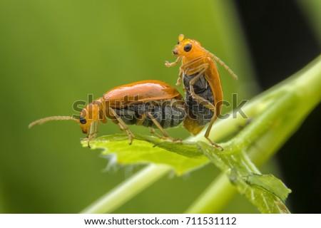 couple of thailand beetles on potato bush close up in garden in summer season Foto stock ©