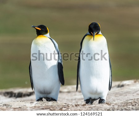 Couple of the KIng penguins.  Falkland Islands, South Atlantic Ocean, British Overseas Territory - stock photo