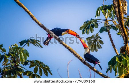 Couple of toucans feeding on a tree with blue sky