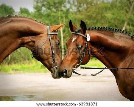couple of trakenher stallions