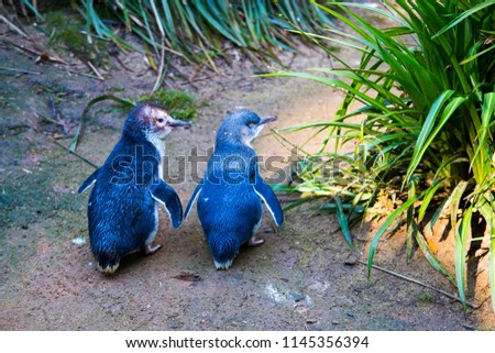 Couple of two little penguins, known as blue little penguin, korora or fairy penguin, walking together on the ground. Cute small penguins native to Australia, New Zealand and Phillip Island