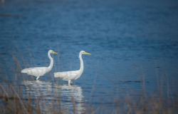 Couple of White Egret standing in Blue water