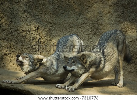 Couple of wolfs stretching after a nap