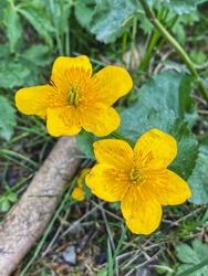 Couple of yellow marsh marigold flowers in Bavarian Alps.