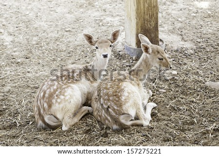 Couple of young deer, detail about mammals in captivity in a zoo, natural beauty