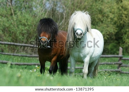 Couple of young minihorse stallions
