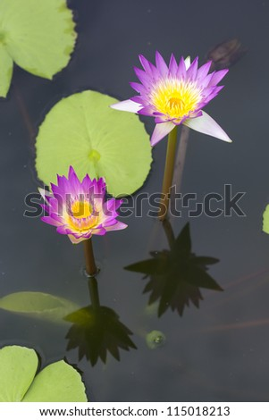Couple pink lotus in the pool