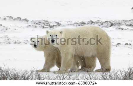 Couple. Polar bears have become interested. Snow-covered tundra. It is snowing.
