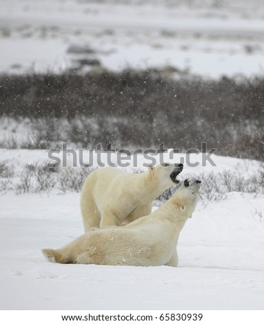 Couple. Polar bears play. Snow-covered tundra. It is snowing.