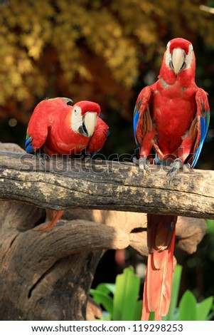 Couple Scarlet Macaws sitting on log