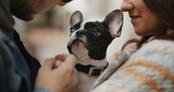 Couple with a lovely French bulldog walking. Home pet routine. Funny dog