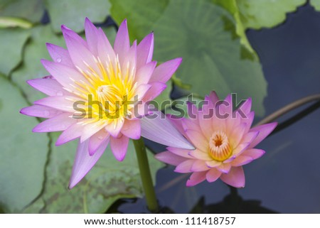 Couples lotus flower blossom