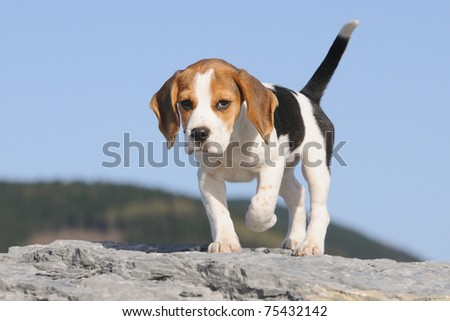 courageous small Beagle Puppy 3 months stands on the rocks
