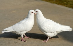 Courtship of pigeons