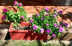 Courtship or vicarious plants with lilac flowers at the entrance of a house in a ceramic pot.