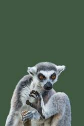 Cover page with a portrait of cute ring-tailed Madagascar lemur enjoying summer, closeup, with copy space and green solid background. Concept biodiversity, animal welfare and wildlife conservation