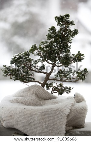 covered bonsai tree  in winter - stock photo
