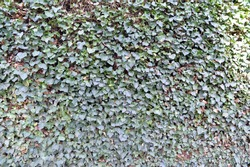 covered fence background. Green surface, natural creeping ivy plant cover.