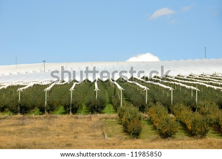 Covered fruit trees, in an orchard, near Orange, in the Central West of New South Wales, Australia
