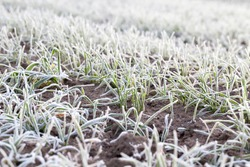 covered with hoarfrost and frosted green grass in the winter season, an agricultural field with cereals of winter variety