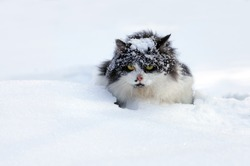 Covered with snow cat. Cat walking in the snow in winter