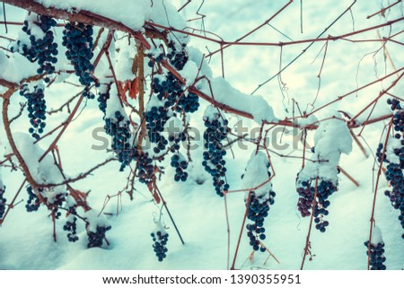 Covered with snow red wine grapes on the grapevine in winter. #1390355951