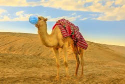 COVID-19 infections in animals. Camel on sand dunes of desert with surgical face mask at sunset. Concept of flu of pet and coronavirus in veterinary and tourism outbreak in the Arab countries.