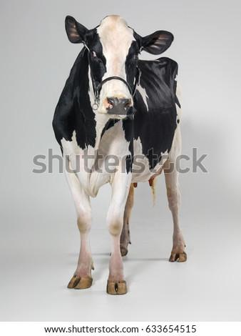 cow #633654515