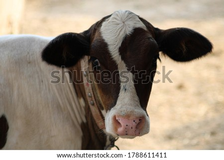 Cow a common type of large domesticated ungulates close view of head of cow in animal farm