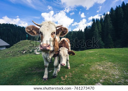 Cow and a calf standing on a pasture on green grass, forest in the background. Close up portrait shot of a cow and calf. Cattle on an alpine meadow. Blue sky with clouds. #761273470