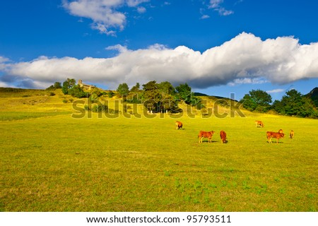 Cow and Bull Grazing on Alpine Meadows in France