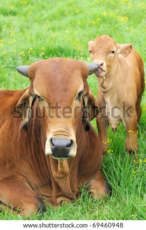 cow and calf affection