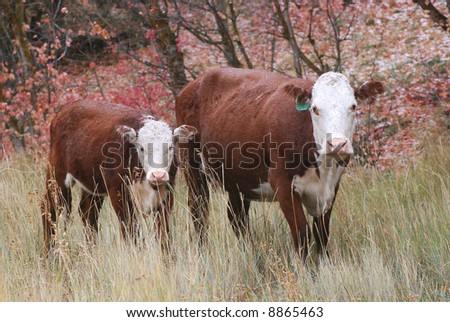 Cow and Calf Grazing