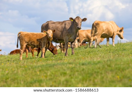 Cow and calf in rural field