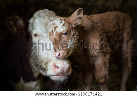 Cow and calf photographed on my grandparents farm. A moment where the calf seeks comfort from its mother.