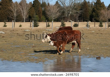cow and frolicking calf