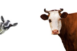Cow and goat Isolated on white background.