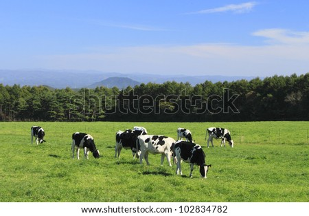 cow and grass in  autuwn - stock photo