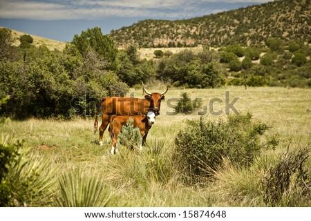 Cow and her calf on Arizona's Open Range.