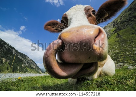Cow and tongue