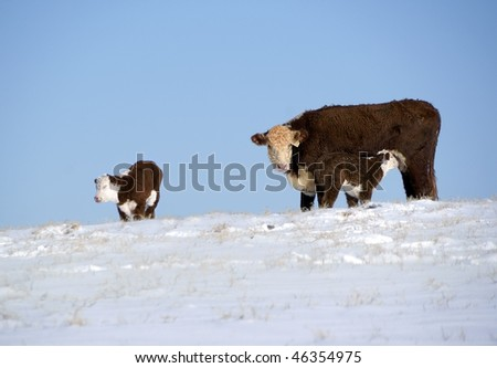 Cow and two calves