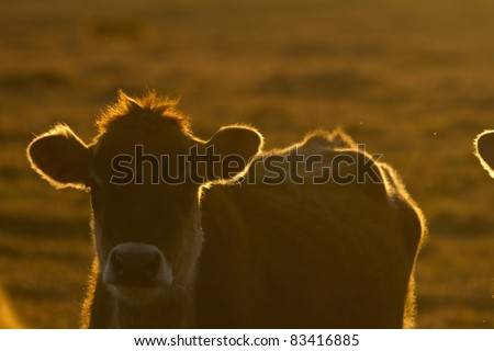 Cow at dusk with the setting sun.