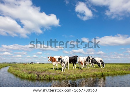 Cow at the bank of a creek, typical landscape of Holland, flat land and water and on the horizon a blue sky with white clouds. Foto d'archivio ©