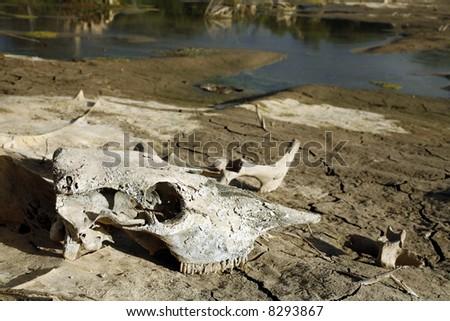 Cow bones by dry waterhole